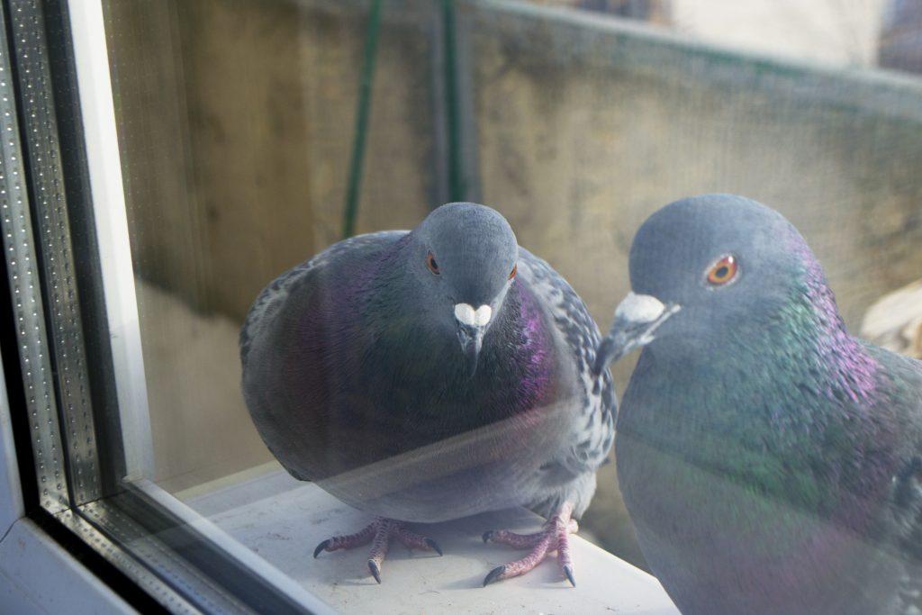Толкование приметы: голубь сел на подоконник за окном, возможное объяснение для женщин и для мужчин
