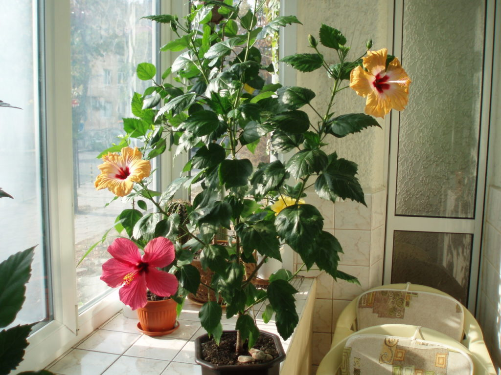 китайская роза на подоконнике